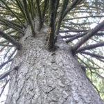 Missä kasvaa kylän suurin puu?