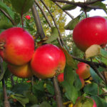 Omenasato oli tänä syksynä hyvä. Omena sisältää runsaasti flavonoideja, jotka edesauttavat sydän- ja verenkiertoelinten terveyttä.