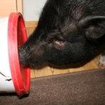 Eläinten teemaviikonloppu: Zorro tuli taloon – allergioiden vuoksi lemmikiksi päätyi näkkileivälle perso possu