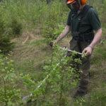 Taimikonhoito nopeuttaa metsän kasvua