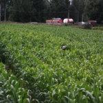 Laitikkalan maissilabyrintti on entistä laajempi ja yllätyksellisempi.