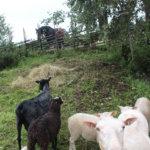 Lampaat olivat vierailulla Äimälän Klemolasta. Ne suhtautuivat alussa varovasti naapuriinsa Isadoraan.