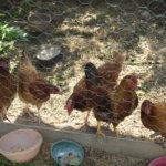Kanat aitauksessa.