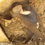 Peitatun viljan syöttäminen vie linnunpoikaset