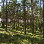 Tuliharjun kangasmaastoa, luontopolkuja ja marjamaita, versio II. Kuva: Jaana Jokinen