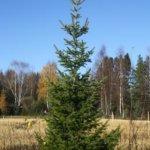 Joulukuusi ruukussa tai pihapuuna