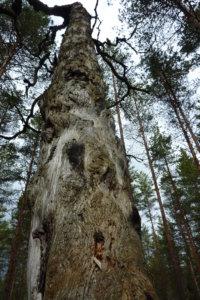 Laipan kevätvaellusreitin varrelle mahtuu jylhää metsää.
