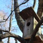 Linnut eivät välitä pöntöstä, jossa on liian suuri suuaukko, mutta oravalle se kelpasi.