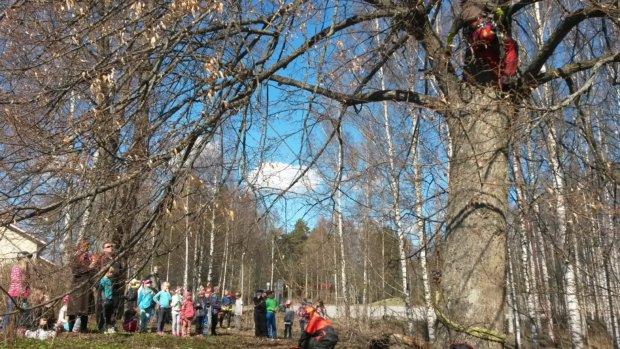 """""""Puukirurgi"""" on korkealla puussa, ja oppilaat seuraavat, mitä seuraavaksi tapahtuu."""