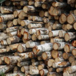 Tarve metsäpuiden lyhytkiertoviljelyyn palasi