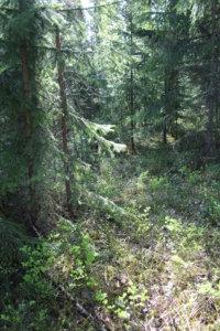 Eri metsätyypeissä varhaisperkausta suositellaan eri vaiheissa. MT-kasvupaikka eli mustikkattyyppi on tuoretta kangasmetsää, joka pitäisi perata noin 4 vuoden iässä.