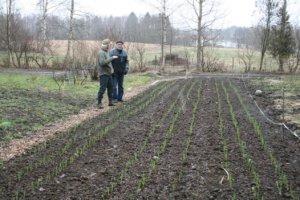 Luomuvalkosipuli kasvaa erinomaisesti hyvin lannoitetussa maassa.
