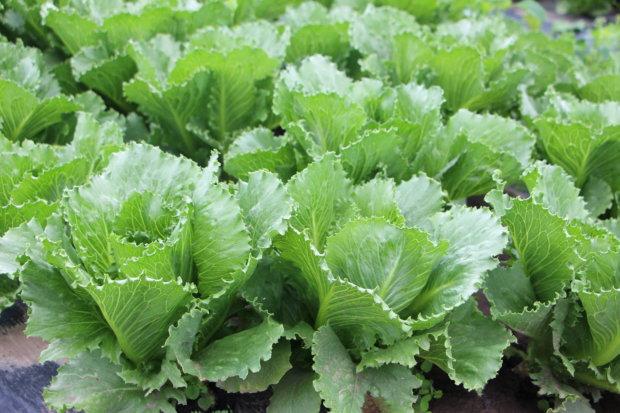 Rödingin tila viljelee salaattia 45 hehtaarilla.