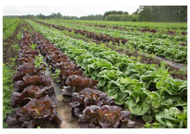 Sydänsalaattimixin eri väriset salaatit kasvatetaan rinnakkain pakkaamisen helpottamiseksi. Salaattipeltoa on kaikkiaan neljäkymmentäviisi hehtaaria. Osasta peltoja sato ehditään korjata kaksi kertaa vuodessa.