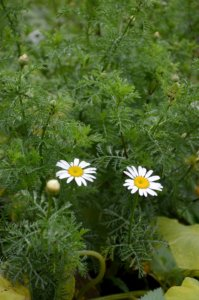 Tämä rikkakasvi jäi viime vuonna tunnistamatta. Epäilyksenä on itävallansauramo (Anthemis austriaca).