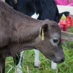 Lasten maatalousnäyttelyssä pääsi tutustumaan esimerkiksi vasikoihin.
