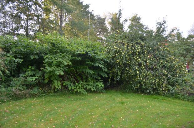 Villiintynyt jättitatar pyrkii syleilemään vanhan omenapuun hengiltä.