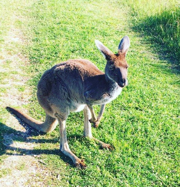 Ystävällinen villikenguru asettui kuvattavaksi Länsi-Australiassa.