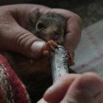 Liito-oravan poikaset hurmaavat silmillään