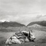 Katri Lassila:  Jakki. Yangpachen, Tiibet 2016.