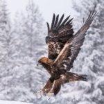 Ensikäynti sääksikojussa teki Sari Suonpäästä lintukuvaajan