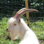 Eläinten teemaviikonloppu: Vuohikolmikko Gunnar, Tahvo ja Väinö – melkein kuin sarvekkaita koiria