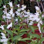 Ukonkello on koristekasvi, valkoinen tai sininen.