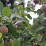 Omenoita riittää