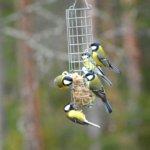 Lintulaudan vieraat – on aika aloittaa lintujen talviruokinta