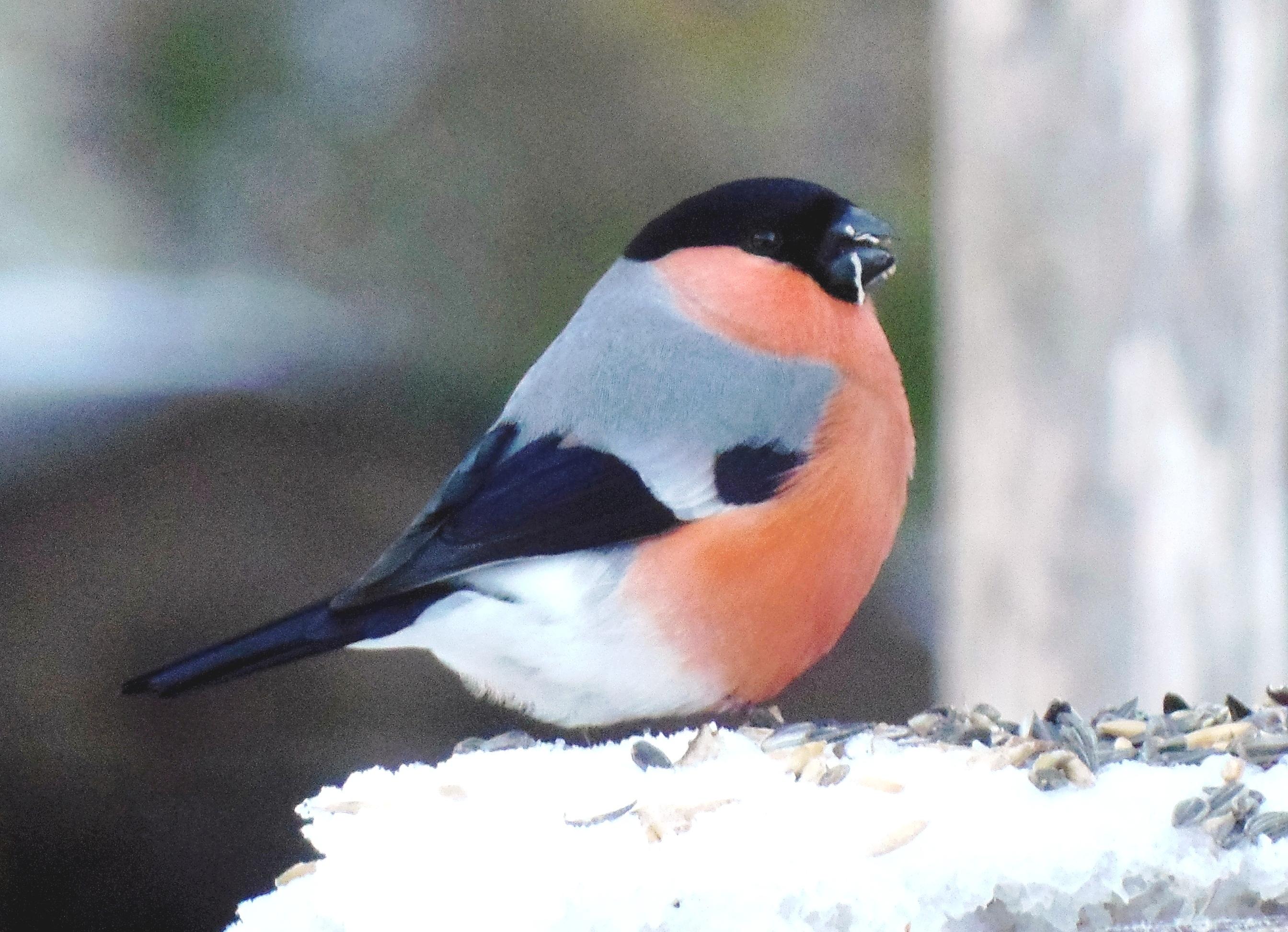 Punainen Lintu