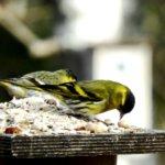 Lintulaudalla vierailee välillä oudompia vieraita