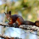 Orava siirtyy asutuksen lähelle
