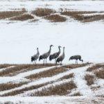 Lintujen kevätmuutto etenee Pirkanmaalla – kevään ensimmäinen västäräkki havaittiin Kangasalla