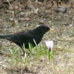 Mustarastaan laulu, teerien pulina, tikkojen rummuttelu – lintujen äänet ovat olennainen osa kevättä
