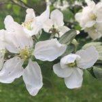 Omenapuu, kirsikkapuu ja luumupuu on helppo erottaa toisistaan, vaan eroavatko niiden kukat toisistaan?