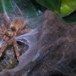 Suoraman hämähäkkimies on lemmikkitarantulojen luottoisännöitsijä ja huoltomies