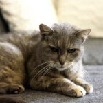 Eläinten teemaviikonloppu: 21 vuoden ikä ei painanut punaisen peiton vaatinutta Missukka-kissaa