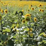 Vehoniemessä hehkuvia auringonkukkia saa vapaasti poimia – Agri Toukolan isäntä on vienyt pellolle puukonkin valmiiksi