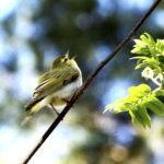Pajulintu laulaa syksyllä haikeasti – Myös pöllöt innostuvat samettisissa illoissa huhuilemaan