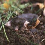 Puutarhan multakasat paljastavat hyvän kaverin – kontiainen on siilin jälkeen Suomen kookkain hyönteissyöjä