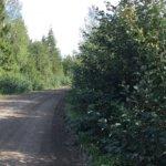 Puiden oksat peittävät näkyvyyden Kyynärö-Padankoski-Kuohijoki -tiellä
