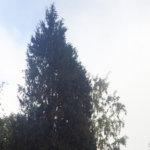 Poika on saanut kasvaa kaikessa rauhassa ja nyt se on Pirkanmaan pisin – Seija Koskisen mökkipihalla kasvava jättikataja on viisikerroksisen kerrostalon korkuinen