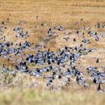 5000 valkoposkihanhen parvi viipyilee Tervaniemessä