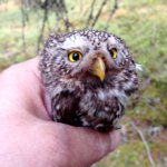 Varpuspöllö vierailulla – myyräkantojen ollessa vähissä varpuspöllö joutuu turvautumaan yhä enemmän pikkulintujen saalistamiseen