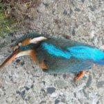 """Onnettomuus katkaisi uhanalaisen linnun pesinnän – """"elävänä en ole nähnyt sitä koskaan"""""""