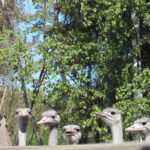 Strutsitilan viime kesän poikasia.
