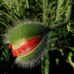 Kesäkuvakisa: Erikoisen hieno kukka