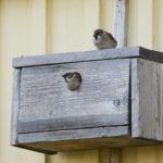 Viikonloppuna bongataan pönttölintuja – kerro, mitä lajeja pöntöissäsi pesii