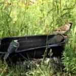 Aurinkokylpyjä ja veden kaipuuta – helteet eivät päästäneet lintujakaan helpolla