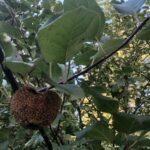 Muumiotauti on omenapuiden yleinen riesa – miten siitä voi päästä eroon?